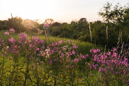 Summer evening with backlit pink summer flowers