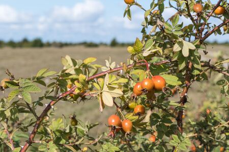 Sunlit almost ripe rosehip berries on a branch outdoors in a landscape