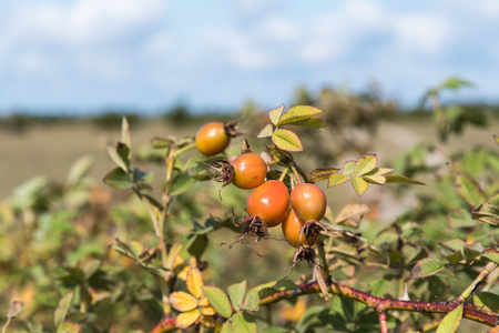 Almost ripe rosehip berries on a twig in a sunny landscape Stock Photo