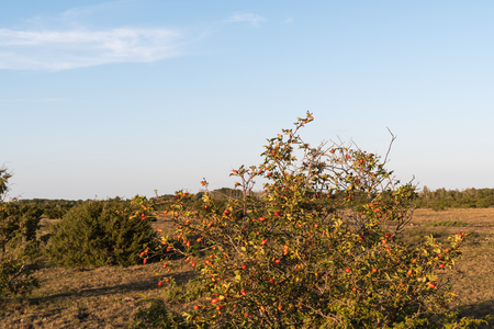 Rosehip shrub with ripe berries in a plain landscape at the swedish island Oland