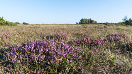 Sunlit blossom heather plants in a great grassland at the swedish island Oland