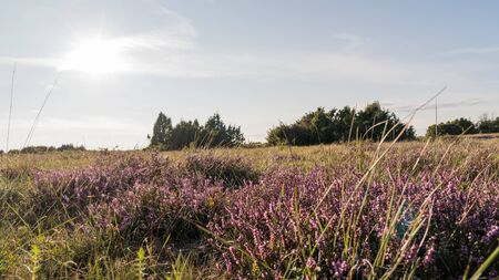 Heather flowers in a plain grassland at the swedish island Oland