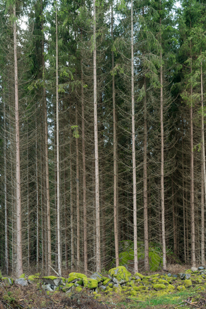 Tall fir trees in a forest with green mossy ground in the front