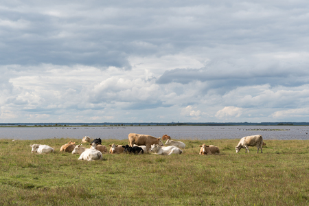 Herd of resting cattle by seaside at the swedish island Oland in the Baltic Sea Stock Photo
