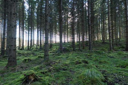 Old spruce tree forest with moss covered ground Stock Photo