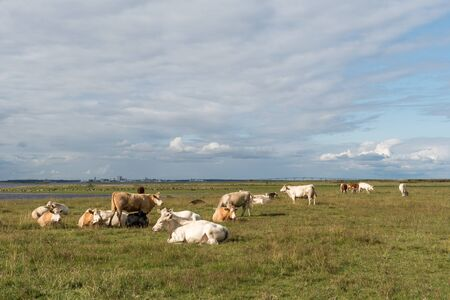 Peaceful view of resting cattle in a swedish coastal landscape at the island Oland