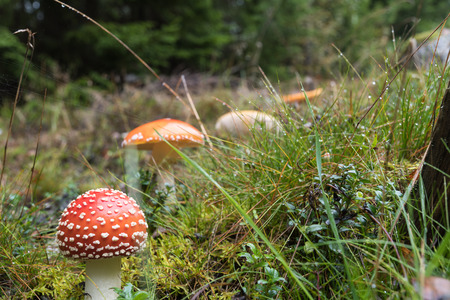 Death cup mushroom and other mushrooms in low angle view Stock Photo