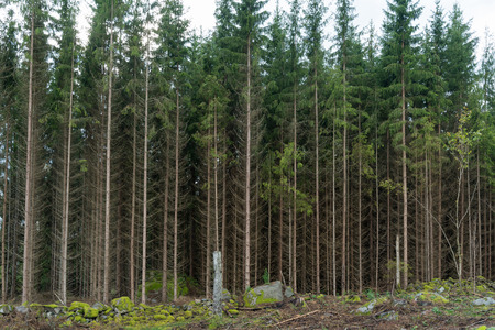 Growing spruce tree forest by a clear cut forest area Stock Photo