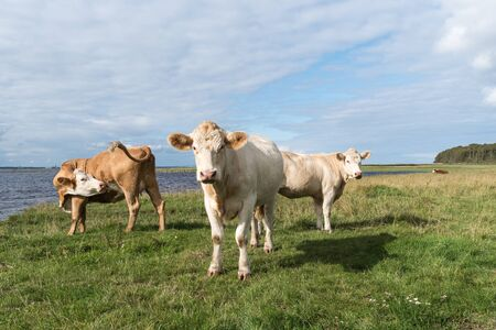 Courious cattle by seaside at the swedish island Oland Stock Photo