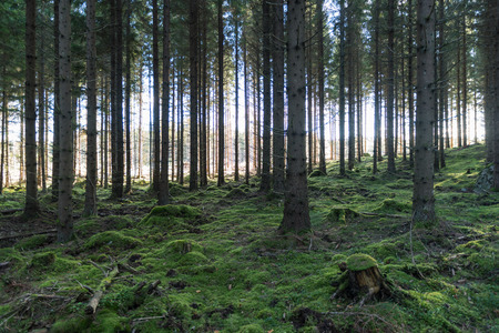 Green mossy fairy forest with spruce trees