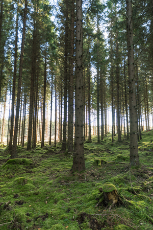 Tall spruce trees in an old forest with green mossy ground Stock Photo