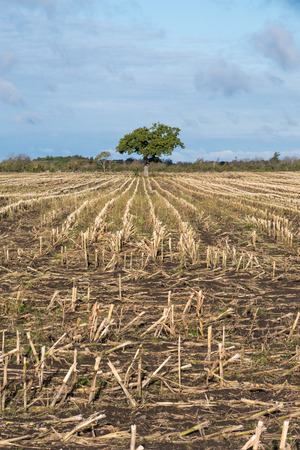 Lone oak tree in a harvested corn stubble field with straight rows Stock Photo