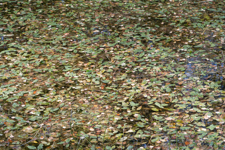 Pond surface with various colored leaves by fall season Stock Photo