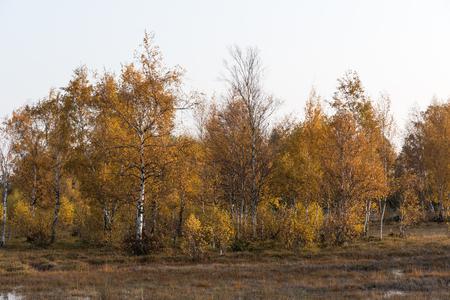 Sparkling golden birch trees in a fall season landscape