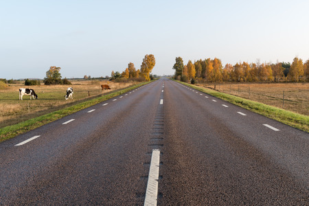 Grazing cattle by roadside in a beautiful fall colored landscape at the swedish countryside on the island Oland Stock Photo