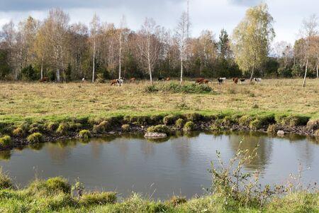 Waterhole in front of a grazing herd of cattle in a autumnal landscape