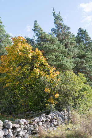 Maple tree in fall colors by an old stone wall in a green forest