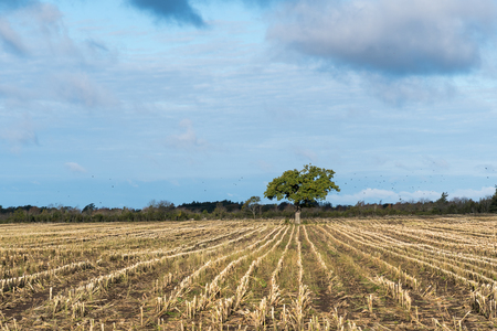 Alone oak tree in a stubble field with straight rows towards the tree