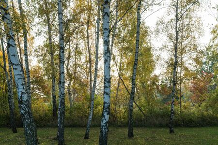 Birch tree trunks in a beautiful colored forest by fall season Stock Photo