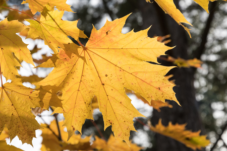 Focus on a single colorful backlit maple leaf in a tree