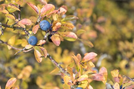 Matured sloe berry on atwig with colorful leaves