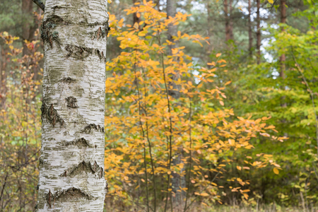 Detail of a birch tree trunk in a golden colored fall season forest