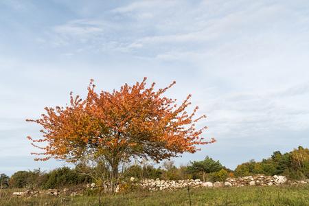 Colorful single tree by a stone wall at fall season at the swedish countryside Stock Photo