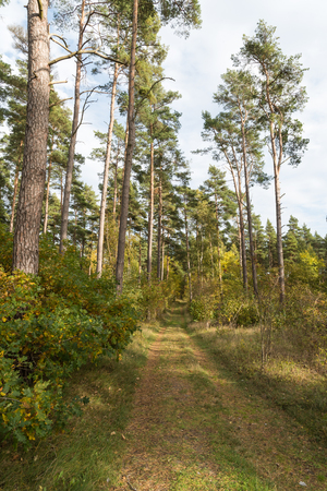 Footpath in the forest with tall pine trees by fall season