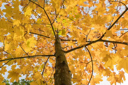 Colorful maple tree by fall season in a low angle image
