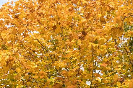 Background image of yellow colorful maple tree leaves Stock Photo