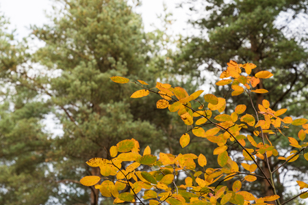 Branch with colorful leaves at a natural green background by fall season