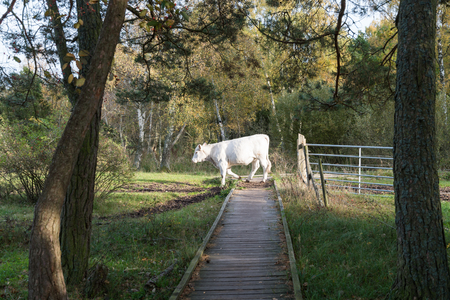 Cow crossing a wooden footbridge in a nature reserve at the swedish island Oland