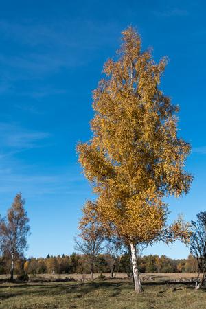 Beautiful sunlit single birch tree in fall season colors