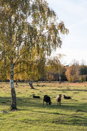 Sheep by a colorful tree in a beautiful landscape by fall season Stock Photo