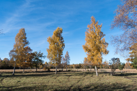 Fall season colored landscape with colorful birch trees