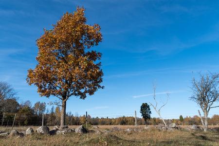 Lone oak tree with fall season colors in a meadow by a blue sky