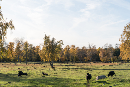 Grazing black sheep in a colorful landscape by fall season Stock Photo