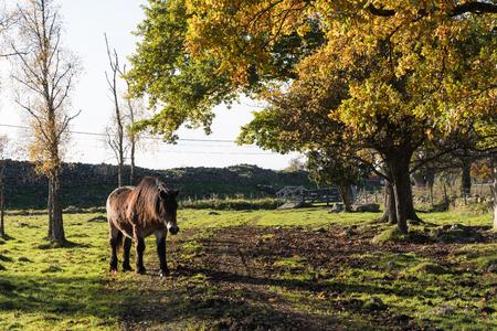 Single horse in a fall season  colored landscape at the swedish island Oland