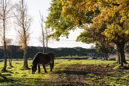 Grazing horse in a fall season colored landscape at the swedish island Oland