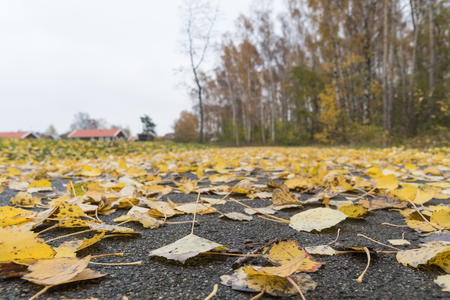 Low angle closeup image of fallen aspen leaves on the ground by fall season