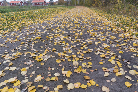 Low angle view of fallen aspen leaves on a footpath at the swedish countryside