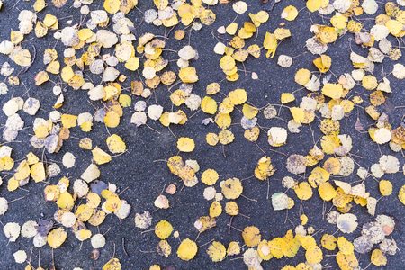 Pattern of fallen yellow aspen leaves on the ground in a background image Stock Photo