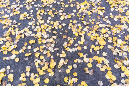Background image with pattern of fallen yellow leaves at fall season