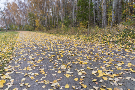 Fallen yellow aspen leaves on the ground in a low angle image Stock Photo
