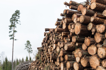 Coniferous pulpwood pile in a forest with pine trees and firs in the background Stock Photo