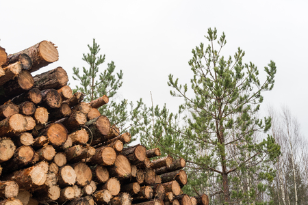 Coniferous pulpwood heap in  a pine tree forest Stock Photo