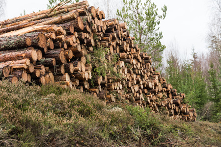 Woodpile with pulpwood in a low angle perspective in a forest