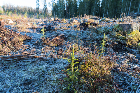 Reforestation with growing spruce seedlings on a frozen ground Stock Photo