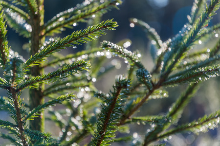 Closeup of growing spruce twigs with glittering dew drops