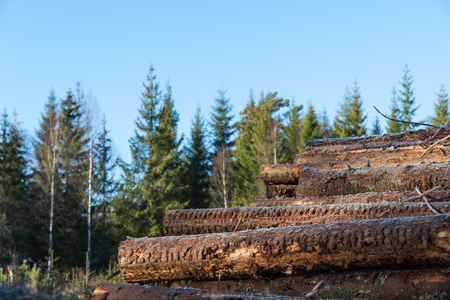 Coniferous pulpwood stack in a spruce forest with a blue sky.